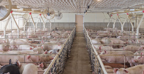 Could Net Energy be Key to Lowering Hog Producers' Cost of Production?