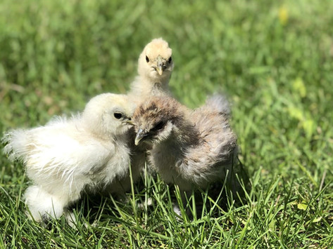 What to do with Aggressive Baby Chicks?