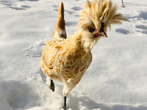 How to Prepare Your Flock for Extreme Winter Weather