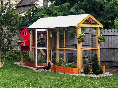 Everything You Need to Know About Raising Chickens in the City
