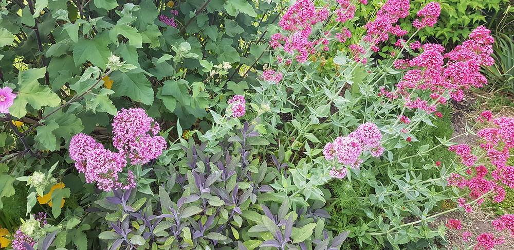 Centranthus ruber, sage and Lavatera