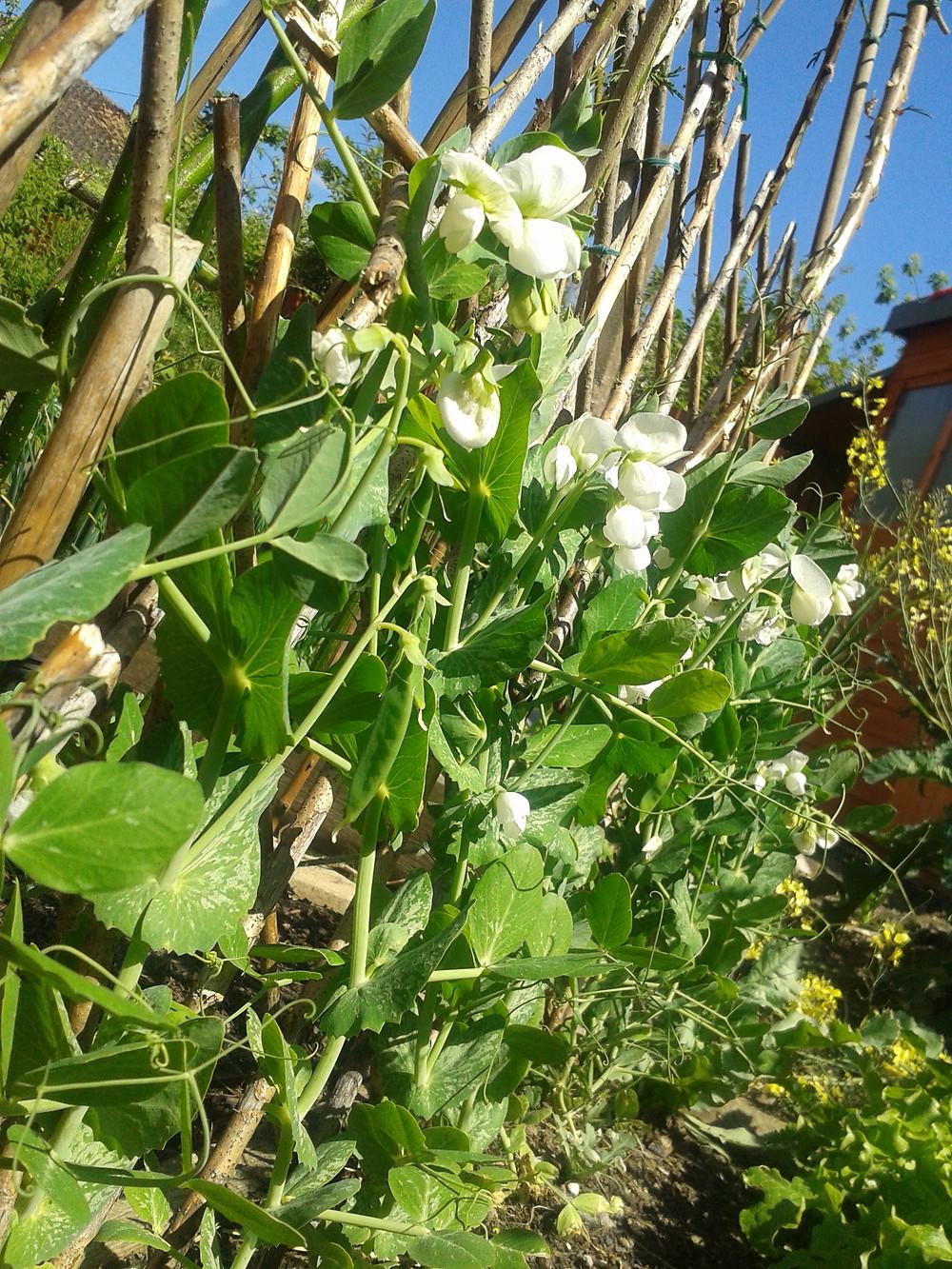 Pea shoots in flower