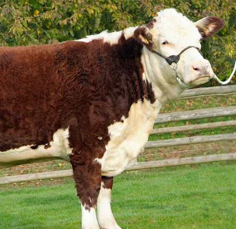 Origin: England.  Features are redcoat with white face and underline, and horned. Suited to vealer, steer and bullock production or maternal/rotation place in crossbreeding.​
