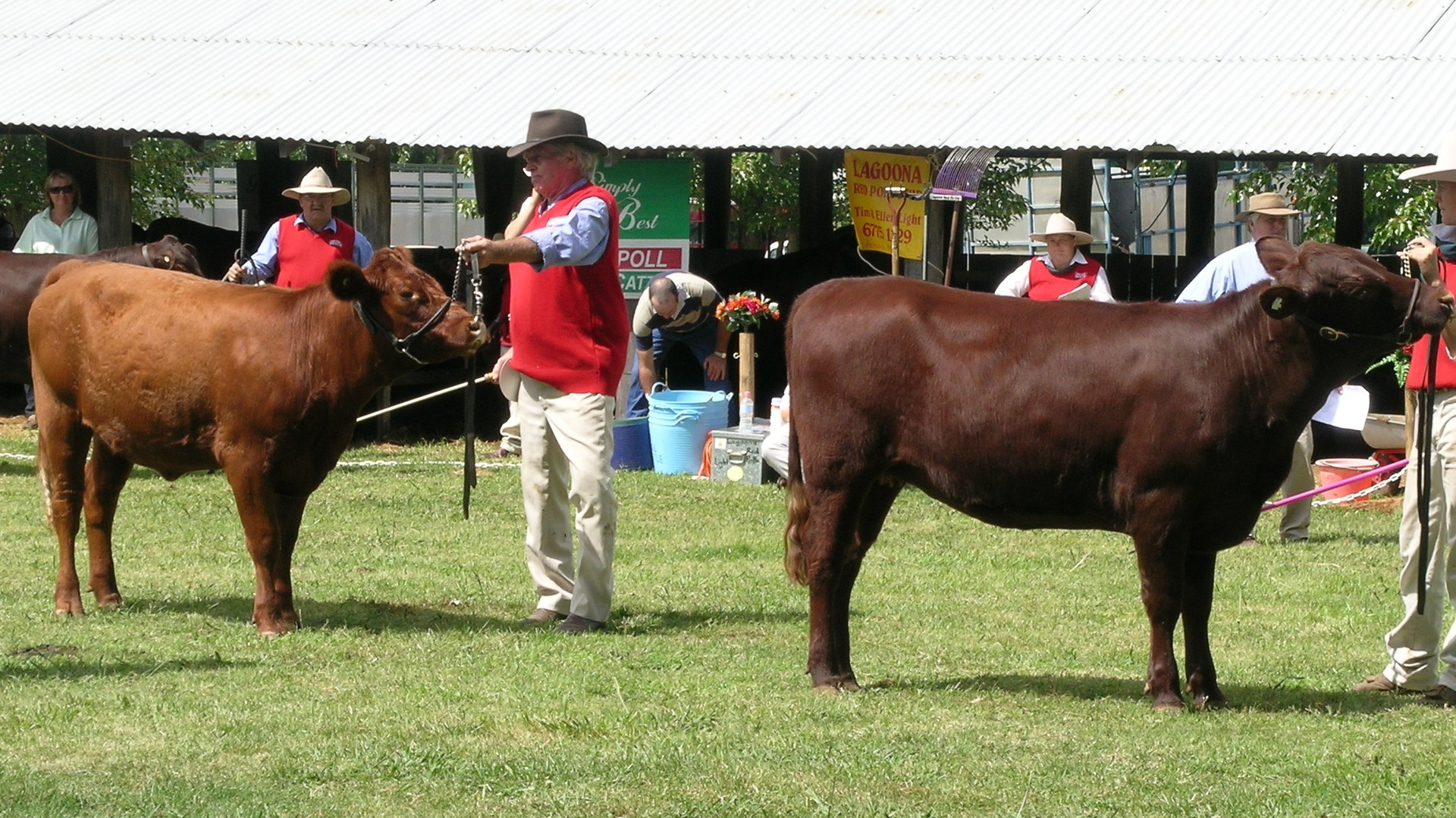 Origin: Estonia /Latvia  Estonian Red cattle have evolved from continuous crossbreeding of the the native Estonian cattle with the Angler and Danish Red cattle. This crossbreeding started in the middle 1800's with the aim to create a breed which produced milk with a high fat content and an increased yield.