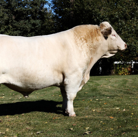 Origin: France.  Features are white or cream coat; polled and horned strains. Suited to bullock production or as a terminal sire in crossbreeding programs.​