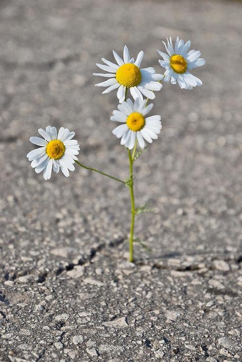 daisy through concrete.png