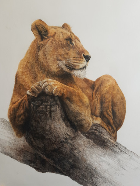 Pause - Lioness in tree