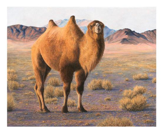 King of the Gobi - Wild Camel