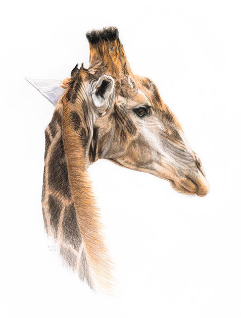 Parting Glance - Giraffe portrait - SOLD