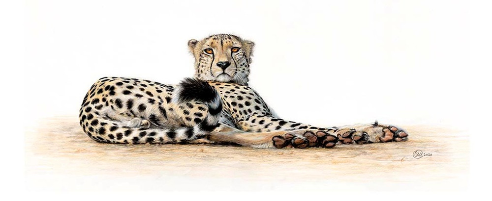 Reclining Cheetah with twitching tale  - not amused!