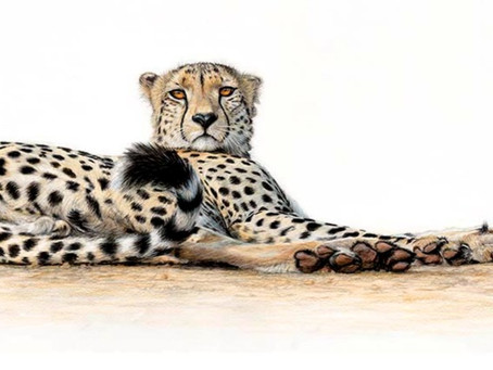 Signed Limited Edition Prints of Cheetah drawing now ready.