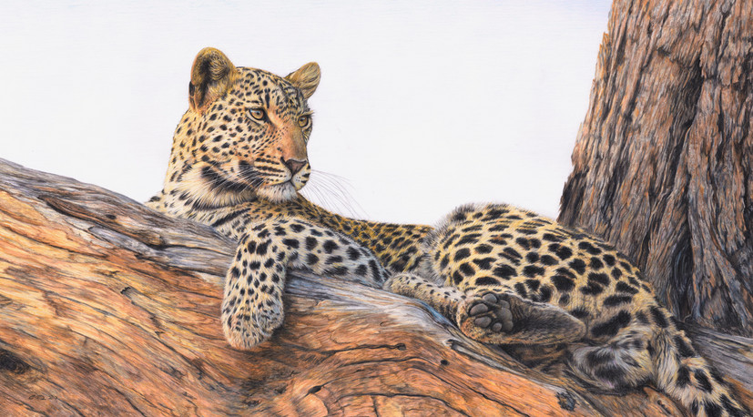 The Lookout - Leopard in tree - SOLD