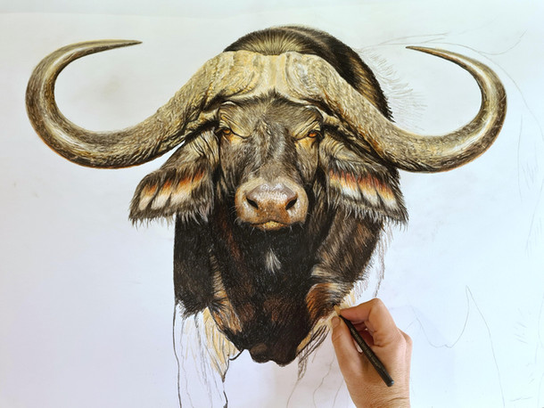 Drawing Inala, Cape Buffalo