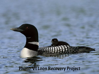 Common Loon Recovery Project
