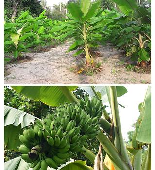 001 banana.jpg