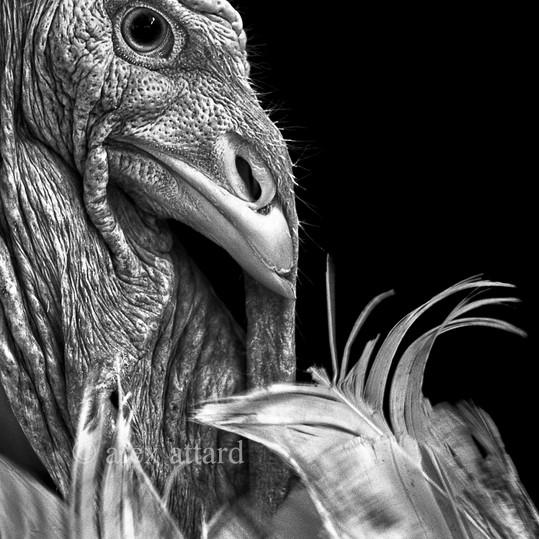 head_feathers_©_alex_attard.jpg