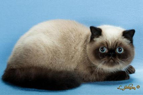 4 seal point exotic (dunkin cattery).jpg