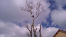 Частичное удаление стволов тополей