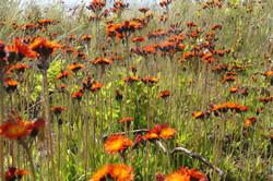 summer roadside flowers