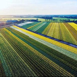 Daffodils_Leenen.jpeg