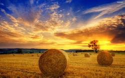 Queensland Spray Millet