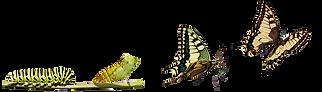metamorfosis-de-las-mariposa-monarco.png
