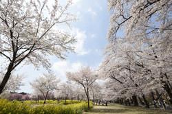 群馬千本桜にて