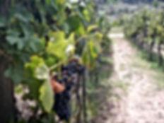 our vines a.jpg
