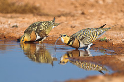 pl_hide_pin-tailde_sandgrouse_ganga_07