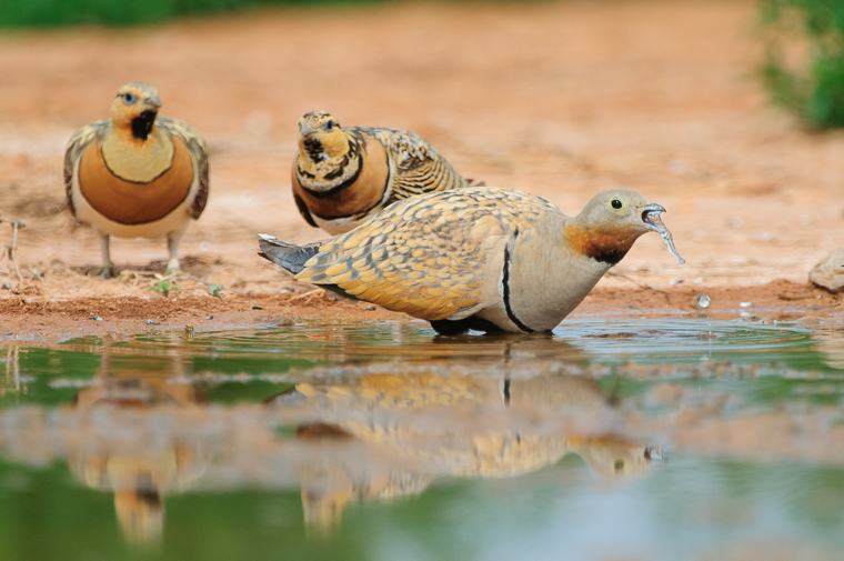 pl_hide_black-bellied_sandgrouse_ganga_o