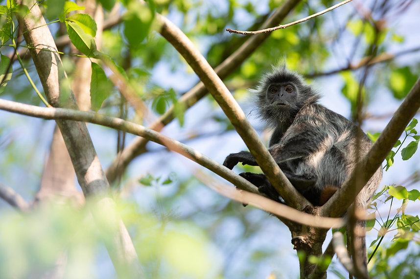 silverleaf monkey.web.jpg
