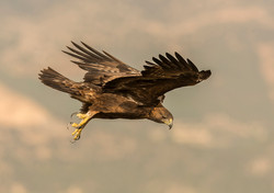 hide_pl_golden_eagle_aguila_real_aguila_