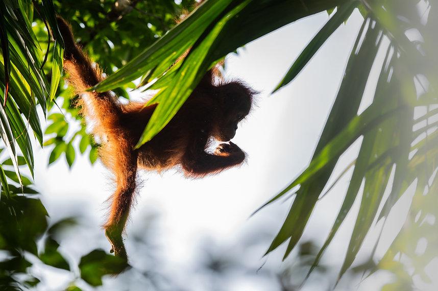 jeune orangoutan.web.jpg