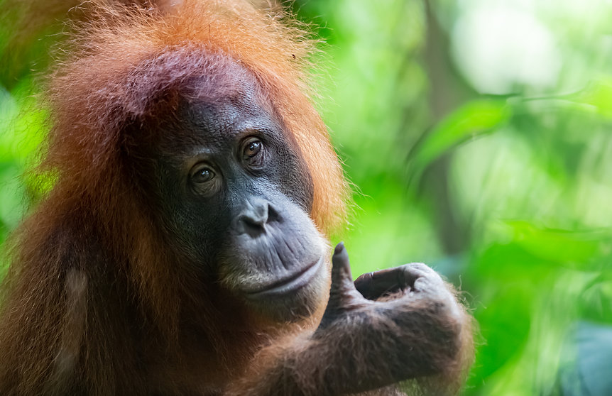 orangutanweb2.jpg