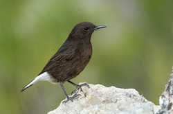 PL_hide_collalba_negra_black_wheatear_co