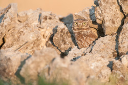 pl_hide_little_owl_mochuelo_mussol_03