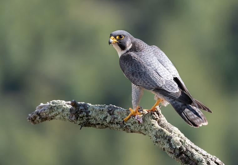 pl-hide-murcia-falco-halcon-peregrino-01
