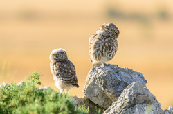 pl_hide_little_owl_mochuelo_mussol_08