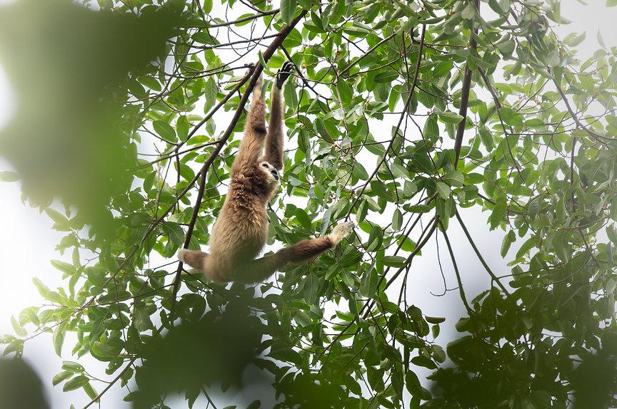 gibbonweb.jpg