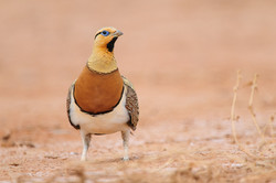pl_hide_pin-tailde_sandgrouse_ganga_19