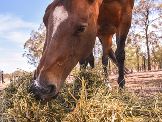 Feeding horses during times of drought: Tips that could save your horse's life.