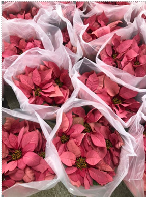 poinsettias pink.png