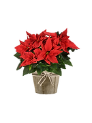 Red Poinsettia_edited.png