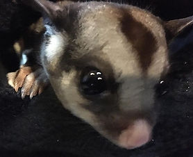 What's for dinner_ #sugarglider only _th
