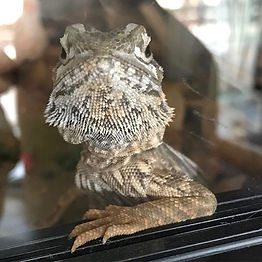 How awesome are beardies__#beardeddragon