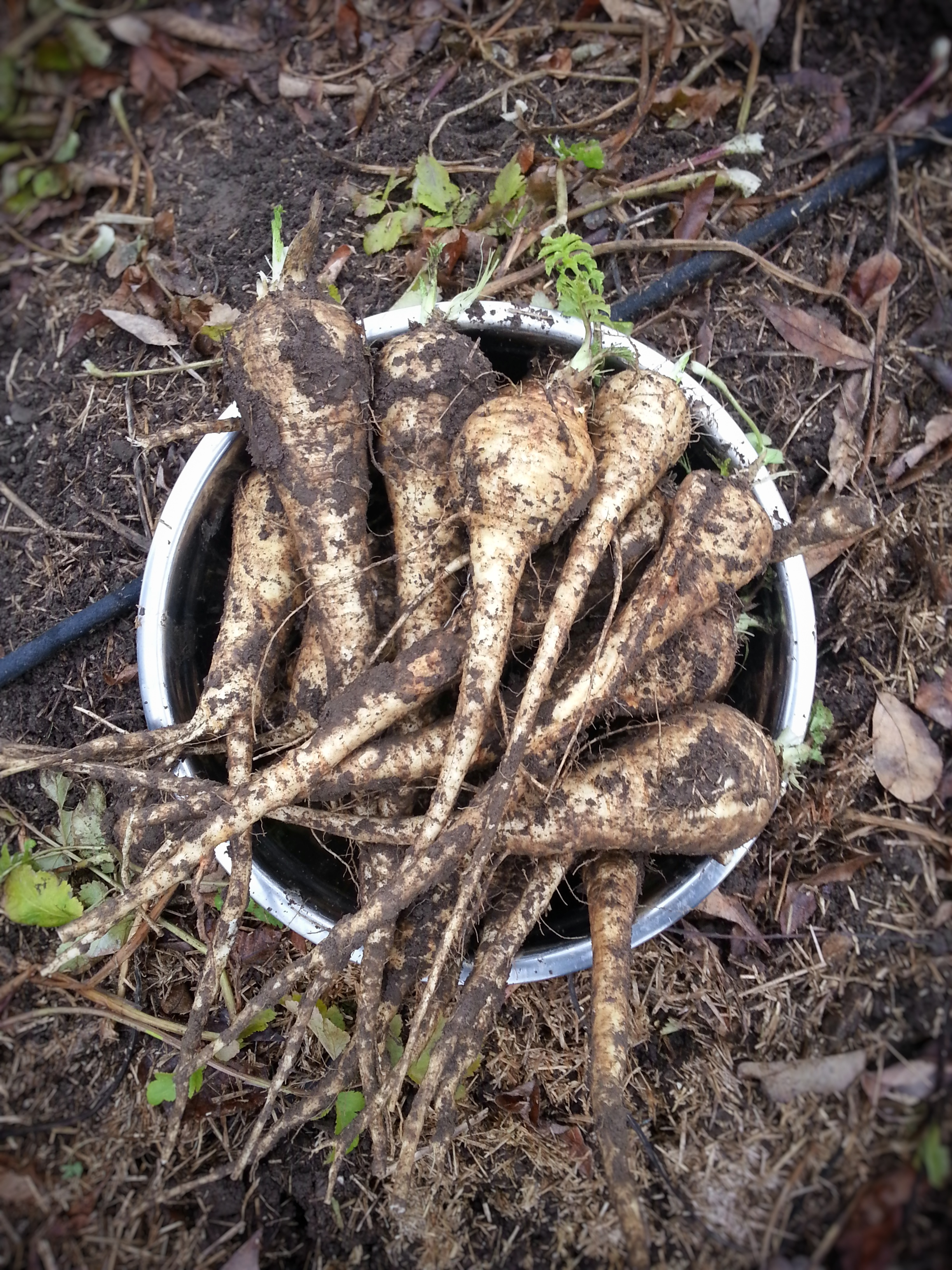 perfectly imperfect parsnips