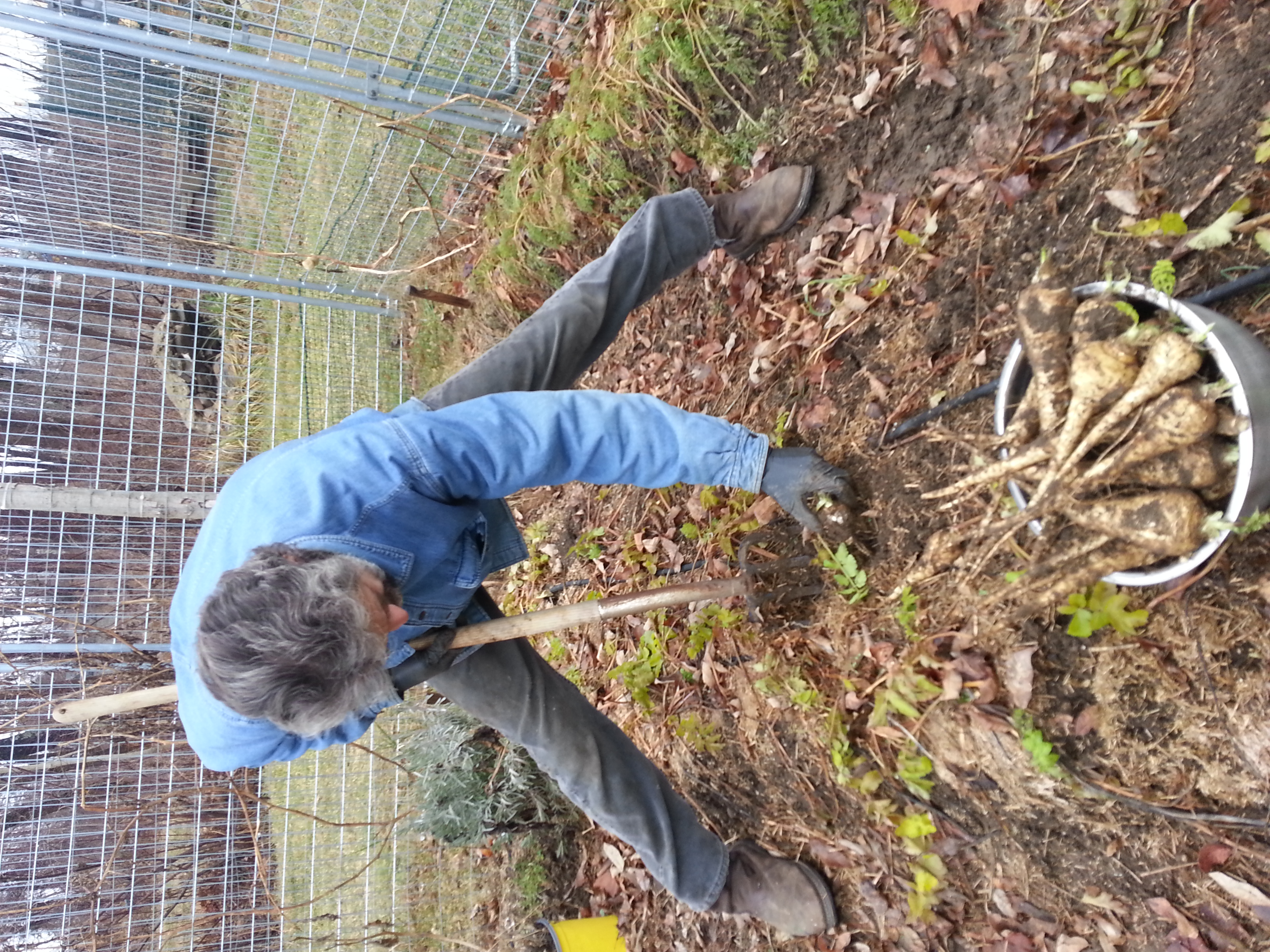 digging up parsnips