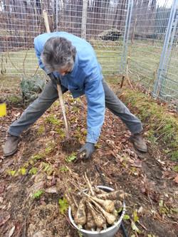 digging up parsnips