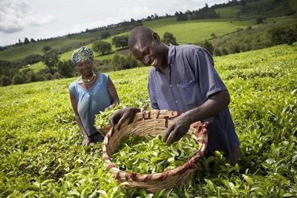Uganda Tea.jpg