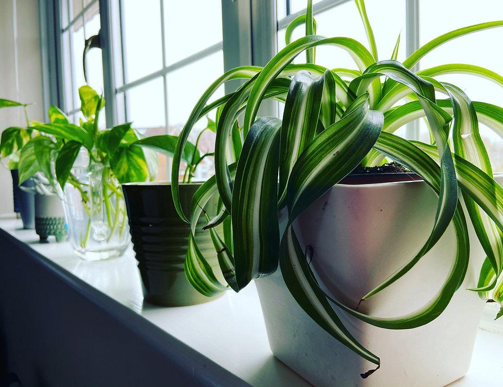 Windowsill Snakeplant.JPG